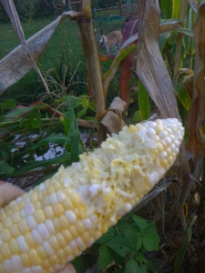 ummm..fresh corn