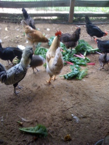 Roosters Elvis (on the left, black and white) and Jethro (healing well) feasting on kale