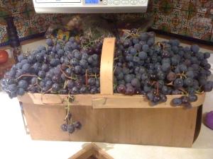 beautiful Concord grapes